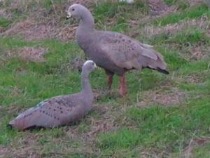 Cape Barren Geese - Phillip Island