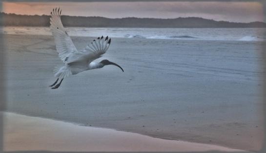 early morning ibis - Adder Rock Beach - Stradbroke Island - 2 June 2016