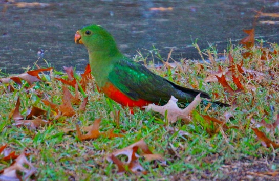 female King Parrot - Drake - 4 June 2016