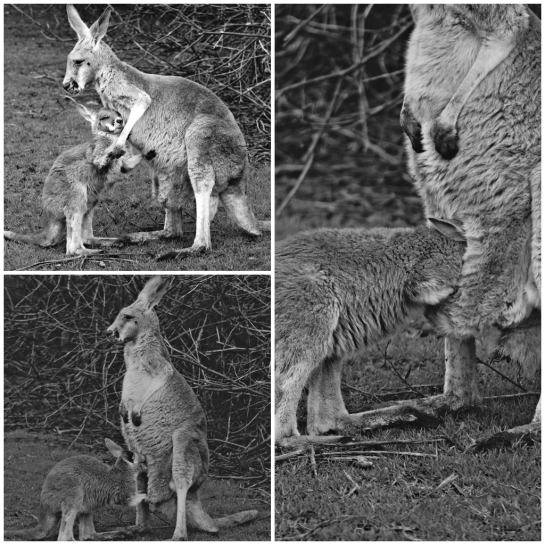 Grey Kangaroo and older joey - PI Wildlife Park - 12 June 2016