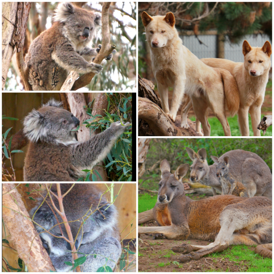 Koalas, dingoes and big red kangaroos