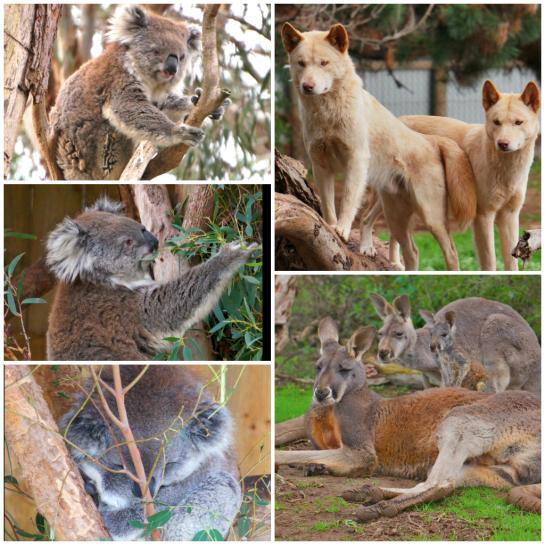Koalas, dingoes and big red kangaroos