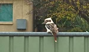 Kookaburra - Glen Innes - TC iPhone - 5 June 2016