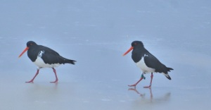 Oyster catchers - Main Beach - Stradbroke Island - 3 June 2016