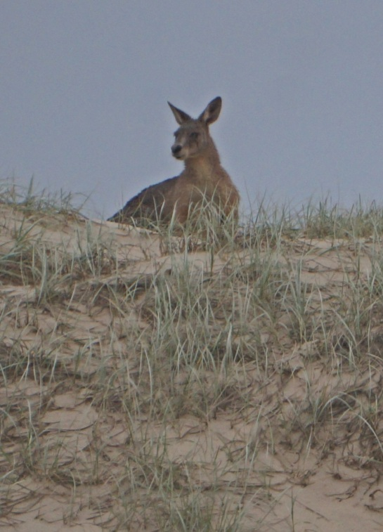 Roo on sand dune - Main Beach - Stradbroke Island - 2 June 2016