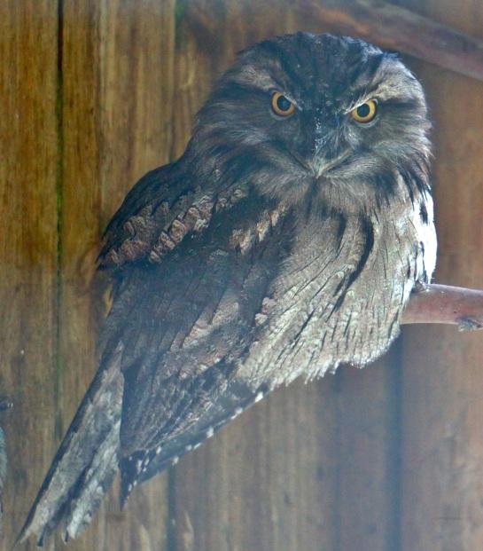 Tawny Frogmouth - PI Wildlife Park - 12 June 2016