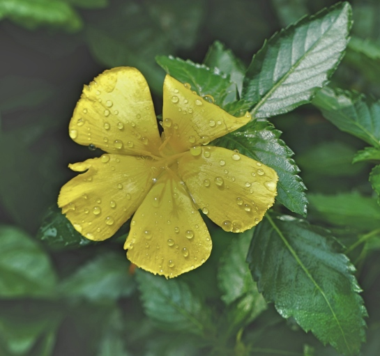 hoi-an-12-oct-2016-flower-in-rain