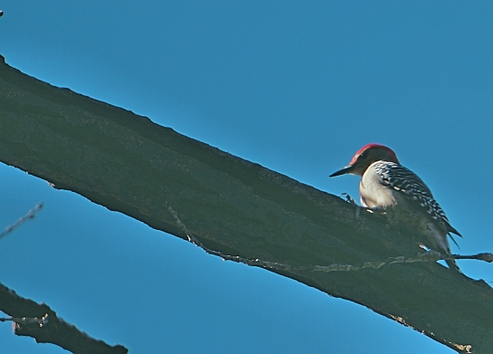 woodpecker-minihaha-falls-park_fotor