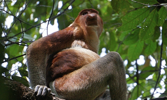 bako-16-proboscis-monkey-male