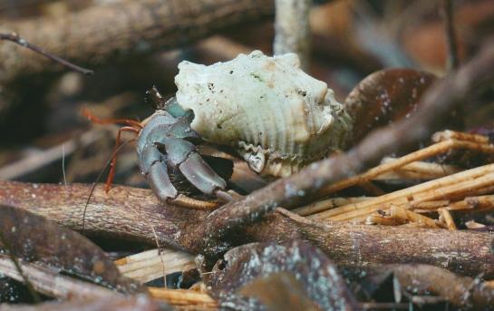 bako-17-hermit-crab