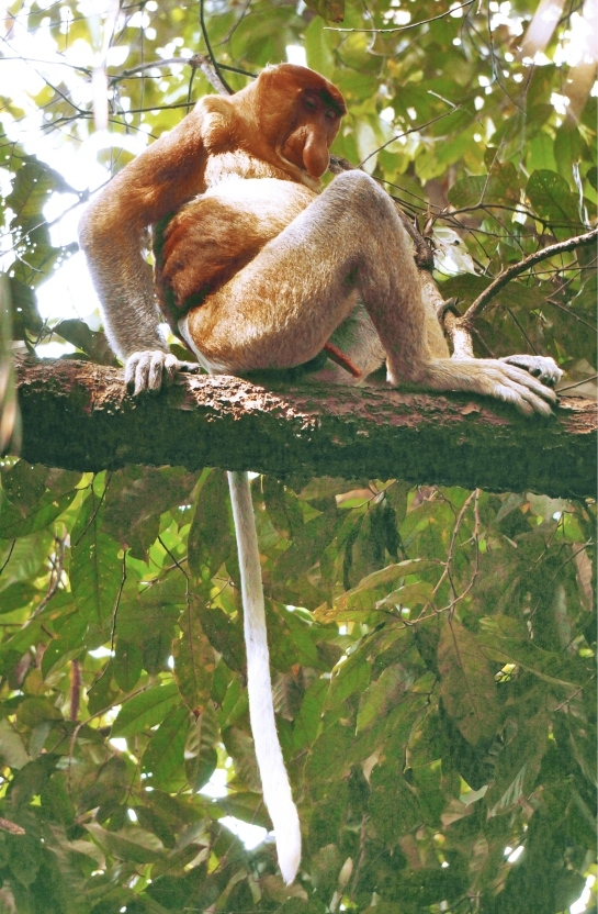 bako-18-proboscis-monkey-sleeping