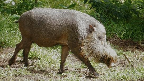 bako-19-bearded-pig