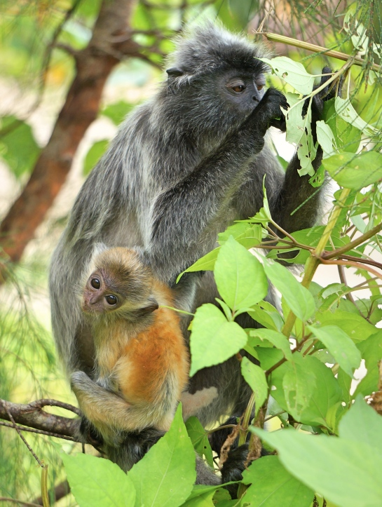 bako-3-silver-langur-and-baby