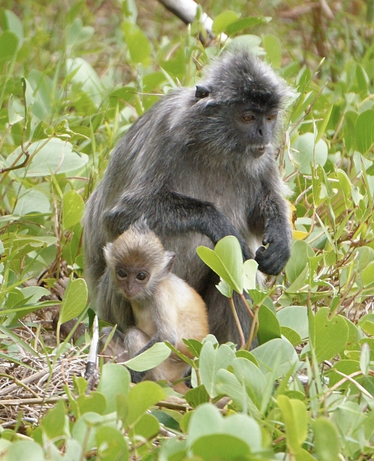 bako-6-silver-langur-and-baby