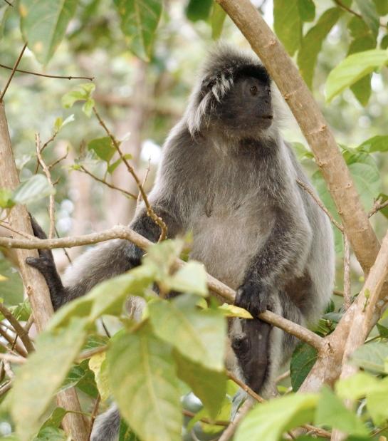 boka-2-silver-langur-female