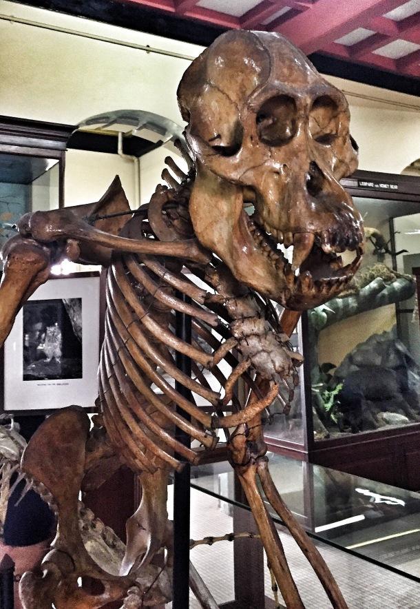 Orangutan Skeleton, Old Kuching, Malaysia