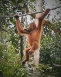 Orangutan 5