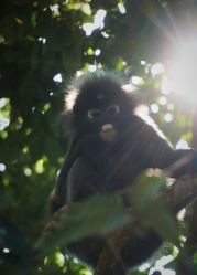 Penang - dusty leaf monkey 2