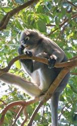 Penang - dusty leaf monkey 3